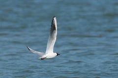 Чайка летая над озером стоковые фото