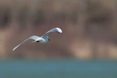 Чайка летая над озером стоковое изображение