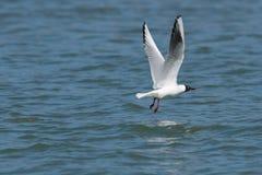Чайка летая над озером стоковая фотография
