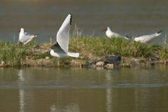 Чайка летая над озером стоковое изображение rf