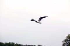 Чайка летая над рекой Стоковая Фотография