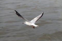 Чайка завишет над темносиним морем стоковое изображение rf