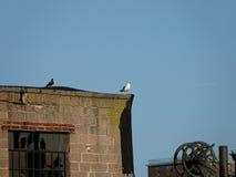 Чайка замкнутая чернотой 5 Стоковые Фото