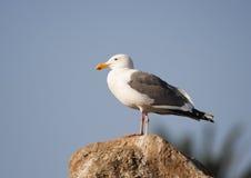 чайка западная Стоковые Изображения
