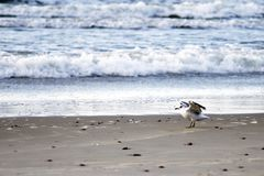 Чайка идя на влажный песок стоковые изображения rf