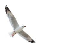 Чайка изолированная на белизне Стоковые Фотографии RF
