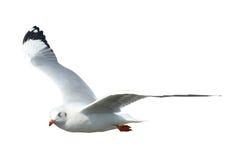 Чайка изолированная на белизне Стоковое Фото