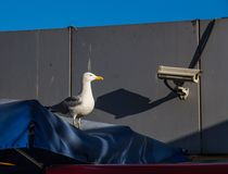 Чайка или камера слежения моря, глаз которой энергичный? Стамбул, Турция стоковое изображение rf