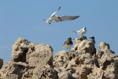 Чайка ища место для того чтобы приземлиться стоковая фотография rf