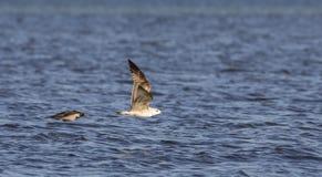 Чайка и ворона Стоковые Изображения