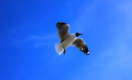Чайка и голубое небо Стоковая Фотография RF