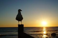 Чайка и заход солнца Стоковое Изображение