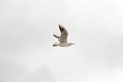 Чайка и небо Стоковые Фотографии RF