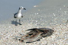 Чайка и рыба Стоковая Фотография RF