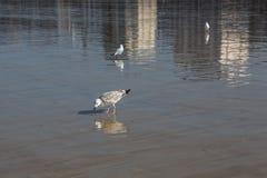 Чайка и свое отражение Стоковые Фото