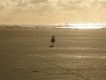 Чайка и серфер стоковое изображение rf