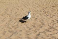Чайка идя берегом Стоковые Фотографии RF