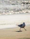 Чайка идя на пляж песка перед морем Стоковые Фото