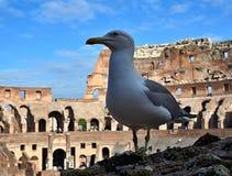 Чайка и Colosseum Стоковая Фотография RF