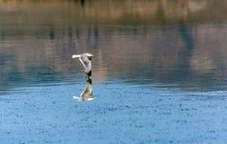Чайка Калифорнии летая над красивым Mono озером стоковое изображение rf