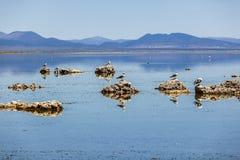 Чайка Калифорнии летая над красивым Mono озером стоковое изображение