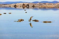 Чайка Калифорнии летая над красивым Mono озером стоковые фотографии rf