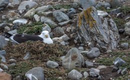 Чайка келпа, остров Магдалены, Чили Стоковые Изображения RF