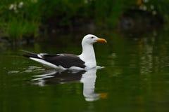 Чайка келпа, dominicanus Larus, птица воды, Финляндия Стоковое фото RF