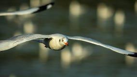 Чайка летает Стоковое Фото