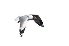 Чайка летания изолированная на белой предпосылке Стоковые Фото