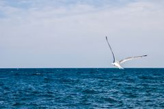 Чайка летания, море, поверхность, ясность, солнечный день Стоковые Изображения RF