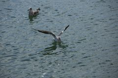 Чайка летания над концом-вверх моря стоковое изображение