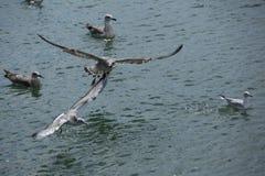 Чайка летания над концом-вверх моря стоковая фотография rf