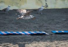 Чайка летания на побережье Чёрного моря в Сочи, России Стоковое Изображение