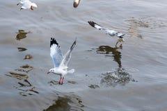 Чайка летания принимая еду от моря на Bangpoo Таиланд Стоковая Фотография RF