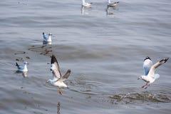Чайка летания принимая еду от моря на Bangpoo Таиланд Стоковое фото RF