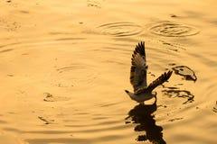 Чайка летания принимая еду от моря на Bangpoo Таиланд Стоковое Изображение RF