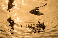Чайка летания принимая еду от моря на Bangpoo Таиланд Стоковые Изображения RF