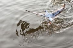 Чайка летания принимая еду от моря на Bangpoo Таиланд Стоковая Фотография