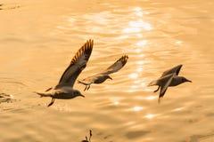 Чайка летания принимая еду от моря на Bangpoo Таиланд Стоковые Фото