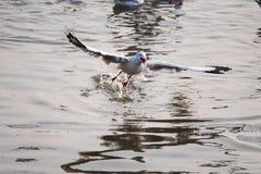 Чайка летания принимая еду от моря на Bangpoo Таиланд Стоковые Изображения