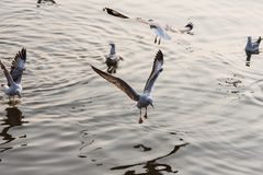 Чайка летания принимая еду от моря на Bangpoo Таиланд Стоковое Изображение