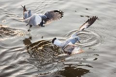 Чайка летания принимая еду от моря на Bangpoo Таиланд Стоковое Фото