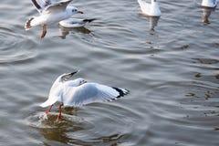 Чайка летания принимая еду от моря на Bangpoo Таиланд Стоковые Фотографии RF