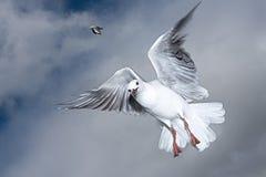 Чайка летания сфотографировала в средний-полете смотря прямо на камере стоковые изображения rf