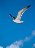 чайка летания Стоковое Изображение RF