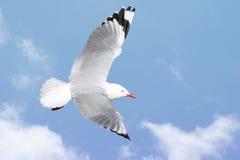чайка летания Стоковая Фотография RF