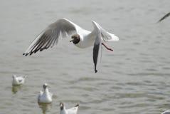 чайка летания Стоковые Изображения RF