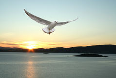 чайка летания Стоковая Фотография