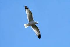 чайка летания Стоковые Фотографии RF